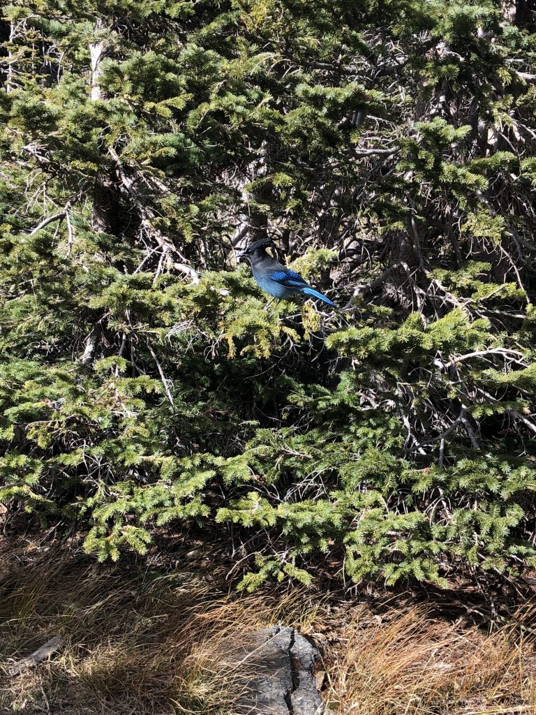 Blue Jay Rocky Mountain National Park