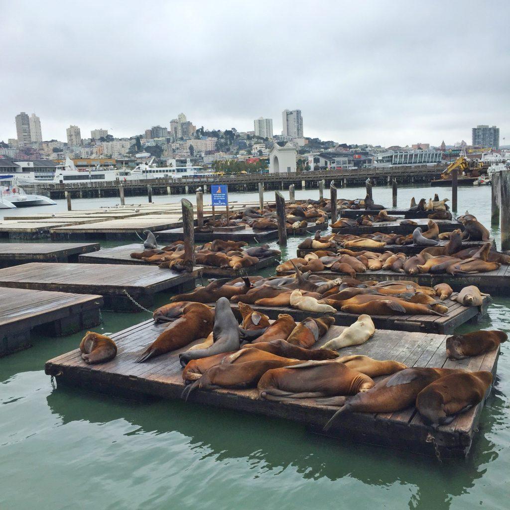 Seals Pier 39 San Fransisco