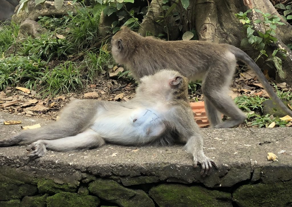 Visiting the Monkey Forest Ubud Bali Indonesia Stuff to do in Bali Bali Attractions 20